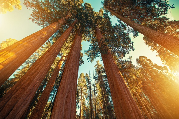 Students can see sequoias during their stay in California